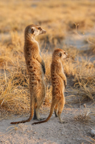 Two Meerkats are scouting, one adult one baby meerkat scanning the landscape for predators. (copyright Anette Mossbacher)