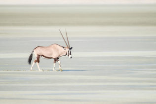 A beautiful Oryx is crossing the wet Etosha salt pan. The animal is walking through the salt pan. (copyright Anette Mossbacher)