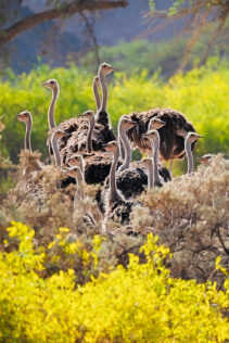 An ostrich flock bunched together on a hill. Their long necks are peeking above yellow flowers. (copyright Anette Mossbacher)