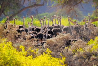 Ostrich flock walks through flowers. The large birds are peaking up above the yellow flowers. (copyright Anette Mossbacher)