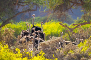 The ostrich flock in flowers. Undoubtedly they use them as protective coverage. (copyright Anette Mossbacher)