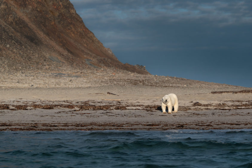 Polar bear on the beach, having a closer look at us. No snow is present on this island. (copyright Anette Mossbacher)