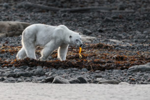 The Polar bear eats seaweed while he strolls along the beach. We see the predator from the side. (copyright Anette Mossbacher)