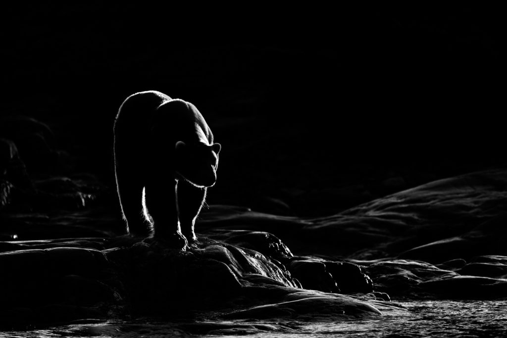 The morning light backlights the impressive polar bear at the edge of this rock. (copyright Anette Mossbacher)