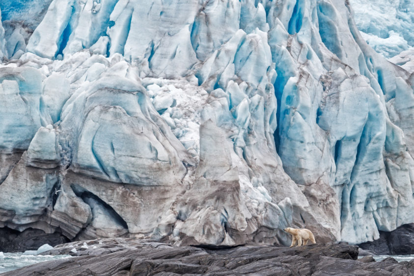 A polar bear is in front of the Nordenskiold Glacier. Behind this polar bear, you see a massive ice wall. (copyright Anette Mossbacher)
