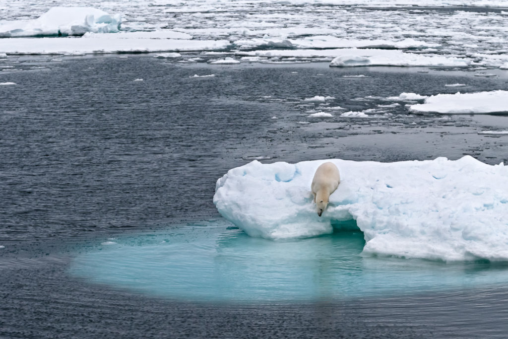 Polar bear looking into the water for seals while sitting patiently on an iceberg waiting (copyright Anette Mossbacher)