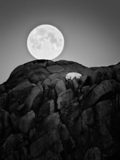 That Polar bear is sleeping under the full moon. You see this bear comfortable nestled in cliffs. (copyright Anette Mossbacher)