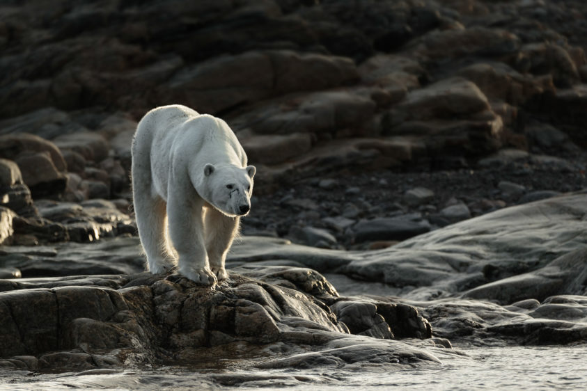 An impressive polar bear looking over the Arctic sea. It seems that he is on the hunt for food. (copyright Anette Mossbacher)
