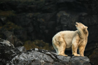 The polar bear looks up the cliffs. He stands on a large rock, looks over his shoulder up the cliffs. (copyright Anette Mossbacher)