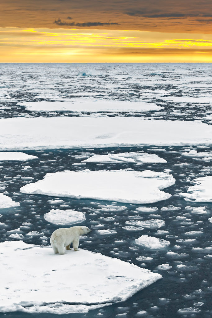 Polar bear on sea ice floating towards the sunset. The Arctic ocean is full of sea ice as far as you can see. (copyright Anette Mossbacher)