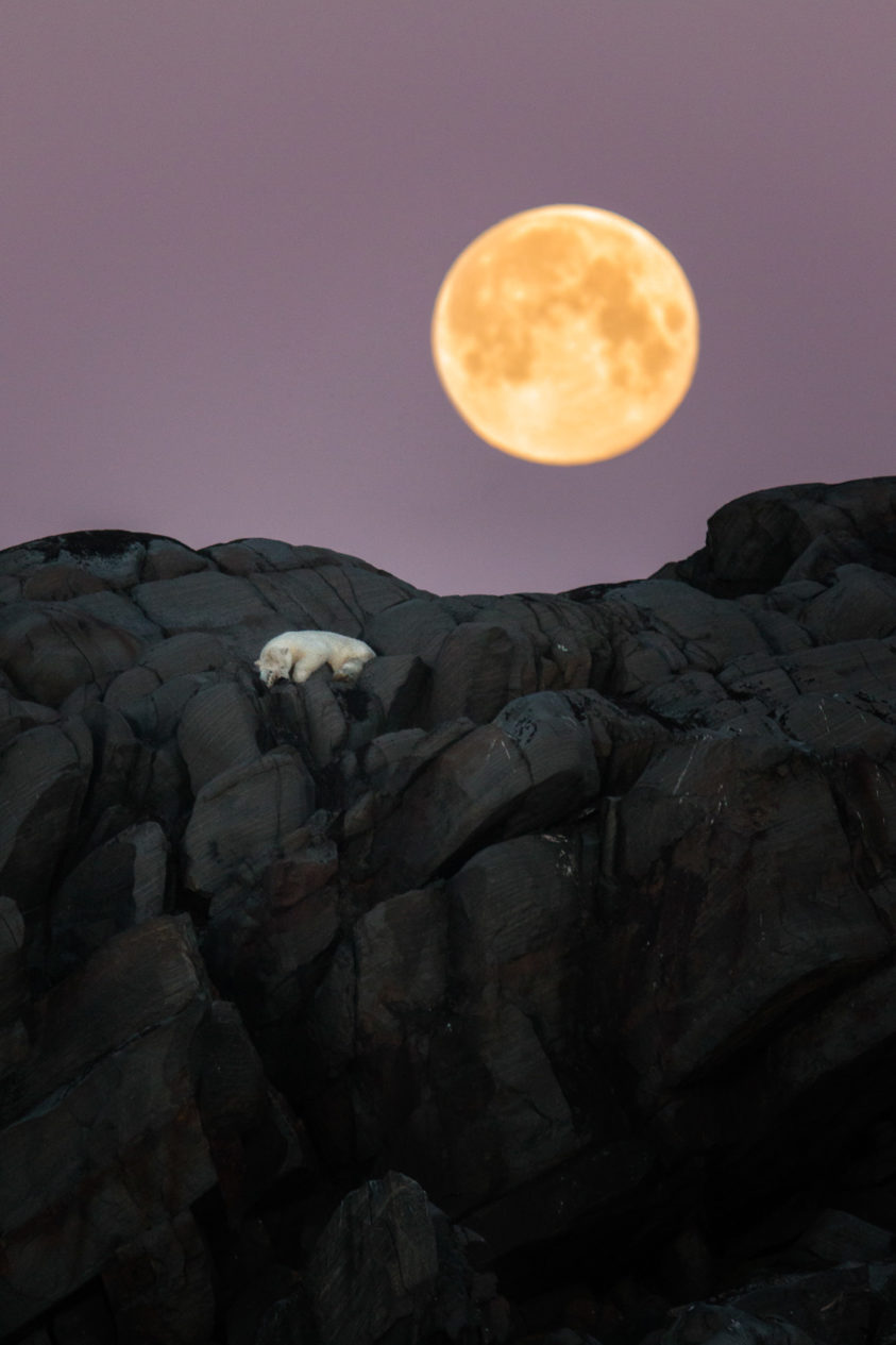 Polar bear sleeping under a full moon while nestled in cliffs above the Arctic sea. (copyright Anette Mossbacher)