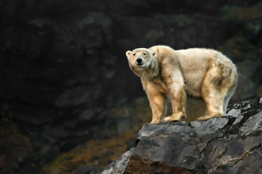 Massive Polar bear stands on a large rock, while he looks to the camera. That apex predator is dirty. (copyright Anette Mossbacher)