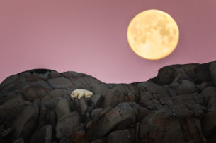 Polar bear sleeping under full moon peacefully in the cliffs of an island in Svalbard. (copyright Anette Mossbacher)