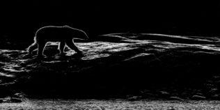 An impressive backlit Polar bear walks along a rocky shore. The Polar bear walks from left to right. (copyright Anette Mossbacher)