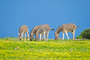 4 Zebras are grazing in a yellow flower field. The wildlife photograph shows a colorful African scene. (copyright Anette Mossbacher)