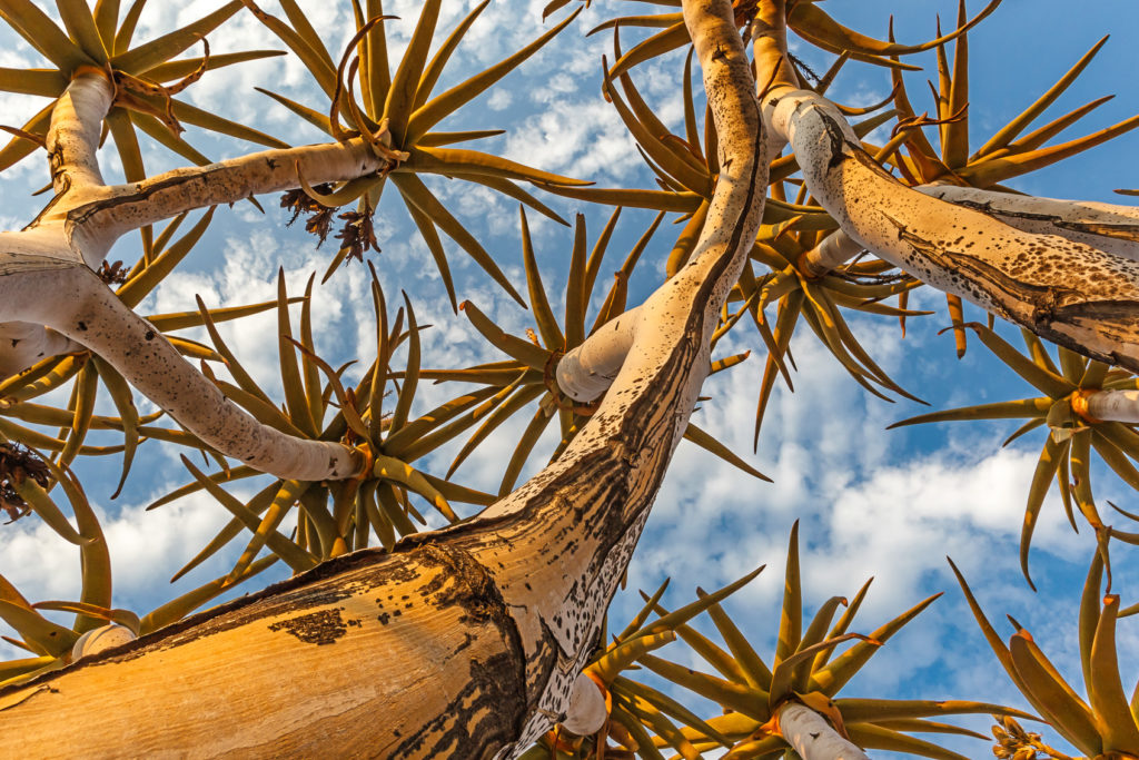 A Quiver tree photograph shows the branches point to the sky at a beautiful sunrise. (copyright Anette Mossbacher)