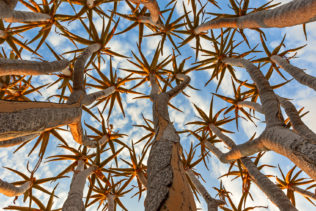 Quiver tree, treetop of branches pointing to the sky. Sunrise light falls on the branches. (copyright Anette Mossbacher)
