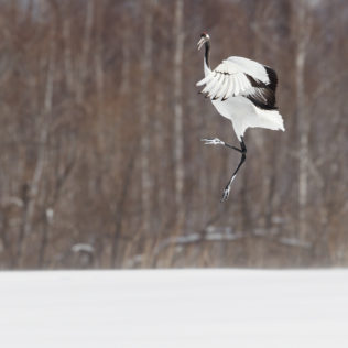 Beautiful Red-crowned crane dancing on snow. That bird jumps high into the air while raising its wings. (copyright Anette Mossbacher)