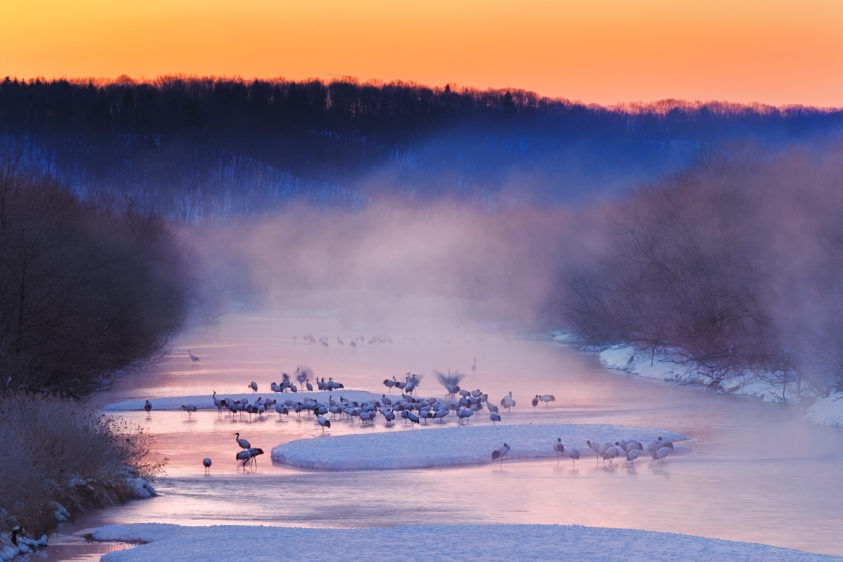 Red-crowned cranes roost site at sunrise. A flock of gorgeous Red-crowned cranes is waking up. (copyright Anette Mossbacher)