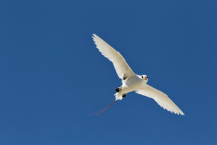 A terrific Red-tailed tropicbird in midair balances beautifully against the blue sky. (copyright Anette Mossbacher)