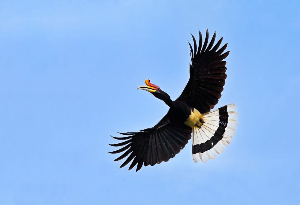 An impressive Rhinoceros hornbill in flight. A beautiful bird in mid-air against the blue sky. (copyright Anette Mossbacher)