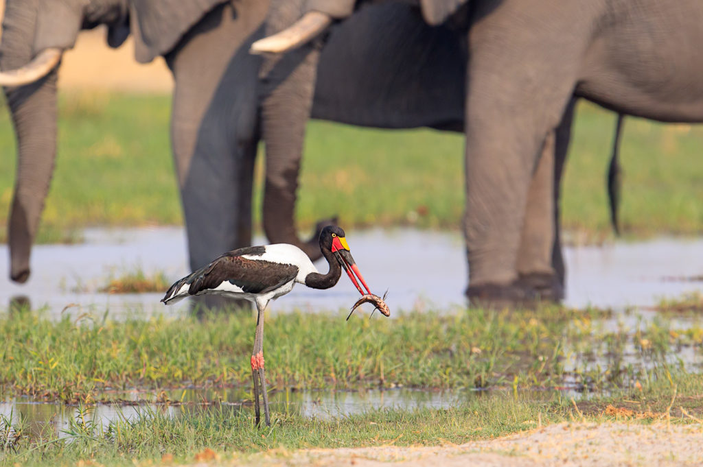 The beautiful Saddle-billed stork impaled a big fish. It stands at a riverbank in shallow water. (copyright Anette Mossbacher)