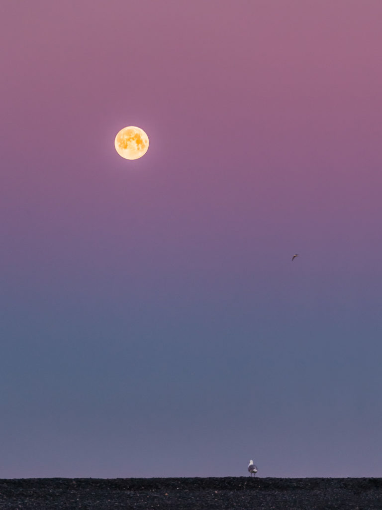 Glaucous seagull looks at the full moon. Standing at a beach turned to the full moon. (copyright Anette Mossbacher)