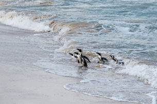 7 African Penguins are arriving on the beach after a day of feeding out in the ocean. (copyright Anette Mossbacher)