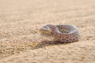 Sidewinder adder lifting its head, focusing sharply with its eyes on something, it has its tongue out. (copyright Anette Mossbacher)