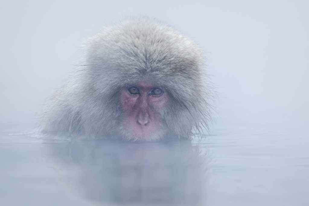A snow monkey bathing. He is taking a relaxing bath in a hot thermal pool. (copyright Anette Mossbacher)