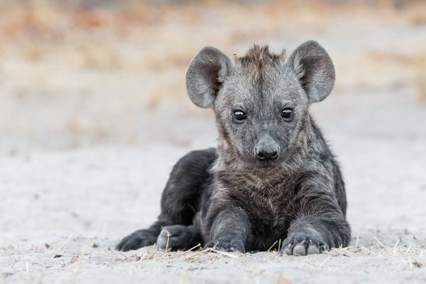 That wildlife photograph features a spotted Hyena cub portrait lying on the ground. (copyright Anette Mossbacher)