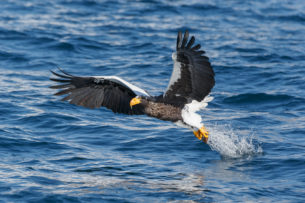 Impressive Steller's eagle catches a fish from the sea. That raptor has its wings spread fully. (copyright Anette Mossbacher)