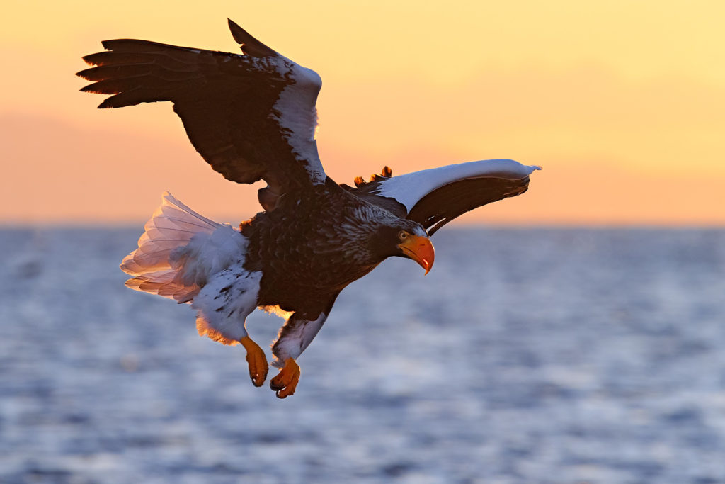 That Steller's sea eagle is landing at sunrise. With its wings, half spread, legs down for landing. (copyright Anette Mossbacher)