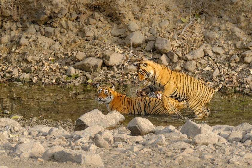 Three Bengal tigers play in the water. Two of the Bengal tiger cubs enjoy the refreshing water. (copyright Anette Mossbacher)