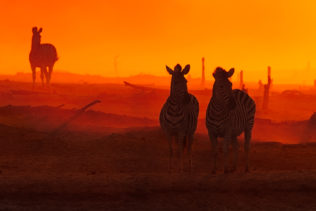 Three zebras stand in a cloud of dust, emphasized by the magical colors of the African sunset. (copyright Anette Mossbacher)