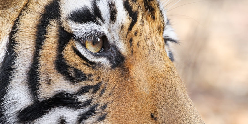 A tiger eye close up photograph of the predator's pupil and profile of its face. (copyright Anette Mossbacher)