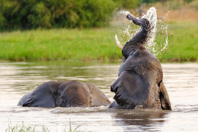 As the African elephants enjoy the water, the water is splashing all around them. (copyright Anette Mossbacher)