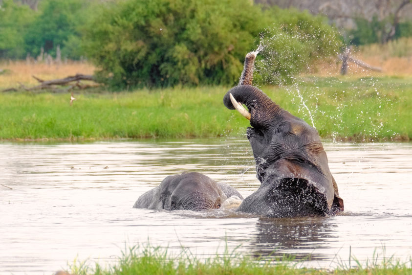Two African elephants enjoy bathing in a river. One animal is reaching high with its trunk. (copyright Anette Mossbacher)