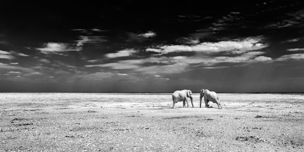 That black and white wildlife photograph shows two African Elephants drinking at a waterhole. (copyright Anette Mossbacher)