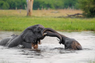 Two remarkable African elephants are fighting in the water. Animals have their heads above the surface. (copyright Anette Mossbacher)