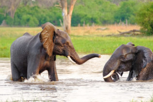 Two massive African elephants play in the river in this wildlife wall art print. (copyright Anette Mossbacher)