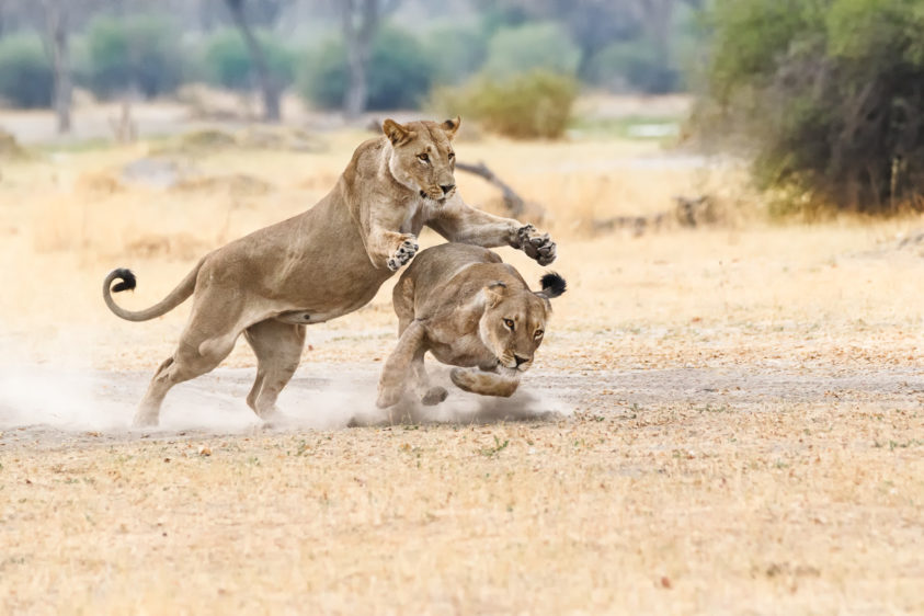 Two beautiful African lionesses are fighting for fun in this wildlife photograph in color. (copyright Anette Mossbacher)
