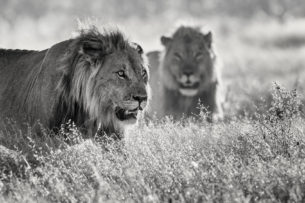 That fine art portrait photograph in B&W shows two lions in the African Savannah. (copyright Anette Mossbacher)