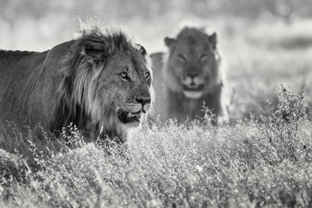 That fine art portrait photograph in monochrome shows two lions in the African Savannah. (copyright Anette Mossbacher)