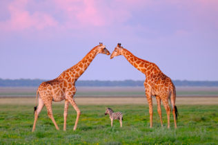 A wildlife photograph that shows how two giraffes create a beautiful archway for a zebra foal. (copyright Anette Mossbacher)