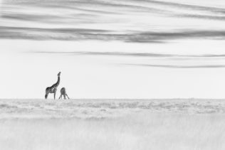 Two beautiful giraffes are drinking at a waterhole in that wildlife fine art B&W photograph. (copyright Anette Mossbacher)