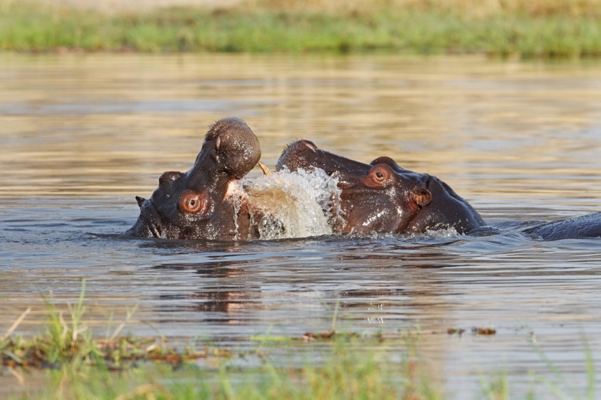Two hippos are fighting in a river. Both animals have their mouth open and splash water. (copyright Anette Mossbacher)