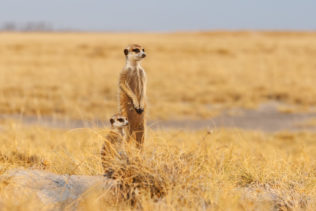 Two Meerkats, an adult, and a cub are together scanning the landscape for predators. (copyright Anette Mossbacher)