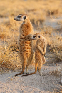 Two Meerkats lookout, one adult and one cub are scanning the landscape for predators. (copyright Anette Mossbacher)