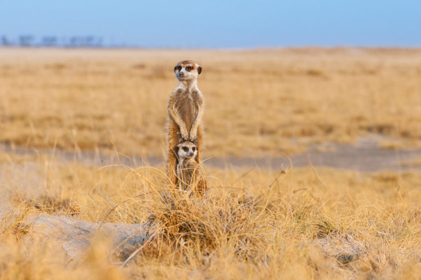 Two Meerkats, mother, and her cub are standing together to scan the area for predators. (copyright Anette Mossbacher)